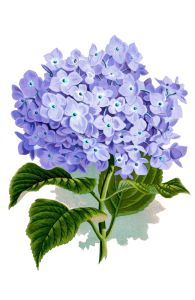 hydrangea image for plant sale - transp